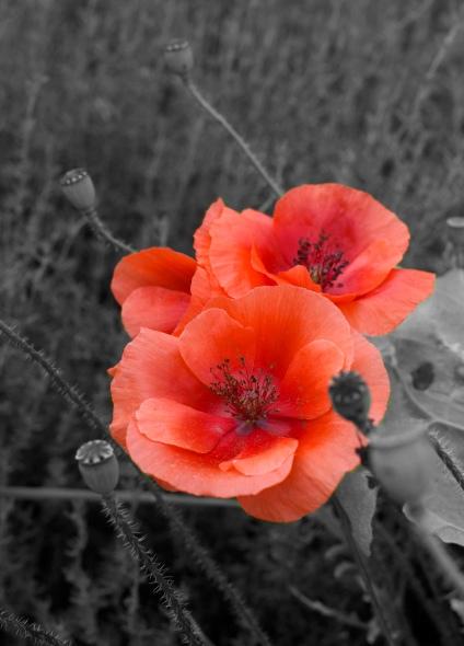 Forever Poppy